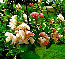 Apple Blossom Time in Nova Scotia by Doreen