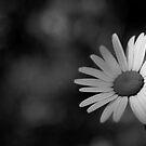 Daisy #1 by Kasia Fiszer