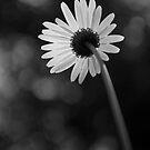 Daisy #5 by Kasia Fiszer