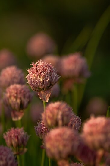 Chives in the Garden by Annie Lemay  Photography