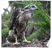 Large Buzzard Chick Poster