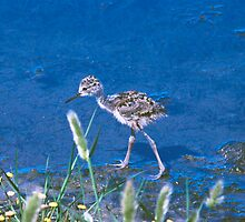 Guess What kind of Bird I Am. Solved Baby Black Neck Stilt shorebird by Nancy Stafford