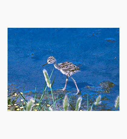 Guess What kind of Bird I Am. Solved Baby Black Neck Stilt shorebird Photographic Print
