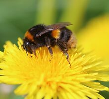 Buff-tailed Bumble Bee on Dandelion by rumisw