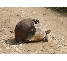 Gagging for It - Mating Turkish Tortoises  Photographic Print