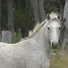 Grey Pony Stallion, Red Rock by louisegreen