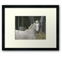 Grey Pony Stallion, Red Rock Framed Print