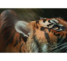 Tiger close up Photographic Print