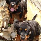 Clyde and Fluff (Rottweiler Puppies) by taiche