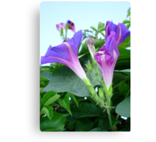 Purple and Pink Budding Bindweeds Againt Leaves Canvas Print