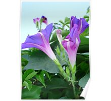 Purple and Pink Budding Bindweeds Againt Leaves Poster