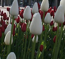 Downtown Tulips by Dean Mucha