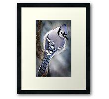 Mr Blue Jay Framed Print