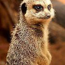 Meercat by lcbirder