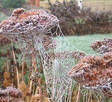 Dead Heads and Spider Webs by hotpotato
