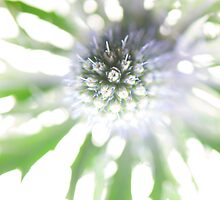 Sea Holly Haze by KitPhoto