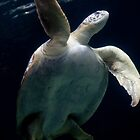 Sea turtle by Jonathan Epp
