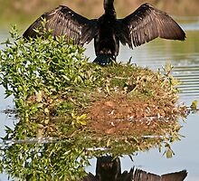 Double-Crested Cormorant by Gary Lengyel