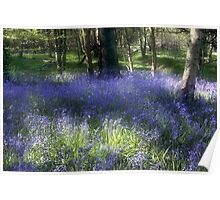 More Bluebells Poster
