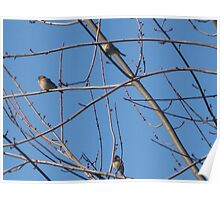 Three Sky Finches  Poster