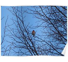 Lone Male Sky House Finch Poster