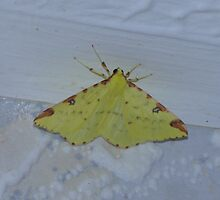 Brimstone Moth by Sharon Perrett