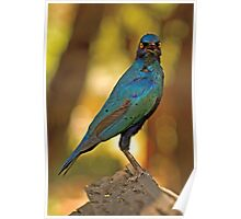 Cape Glossy Starling (Lamprotornis nitens) Poster