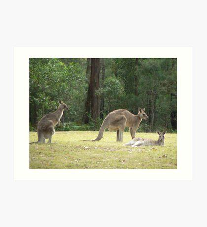 Grey Kangaroos, Arrawarra Art Print