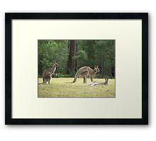Grey Kangaroos, Arrawarra Framed Print
