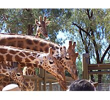 Necks galore Photographic Print