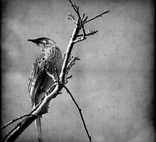 Red Wattlebird by Kitsmumma