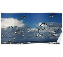Crested Terns,Point Roadknight. Poster