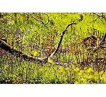Spring Woodland  - A View  Photographic Print