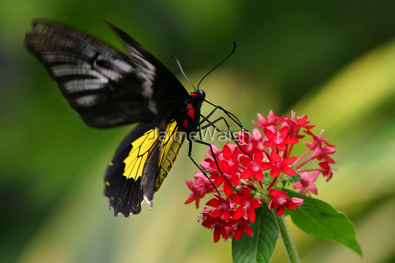 Butterfly and Starflower by JaimeWalsh