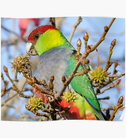 Mr Red Capped Parrot Poster