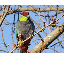 Mrs Red Cap Parrot Photographic Print