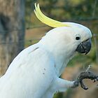 Cockatoo by StaceyH