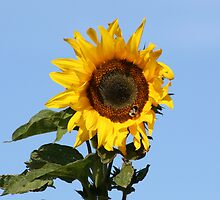 Bee on Sunflower by Geoff Carpenter