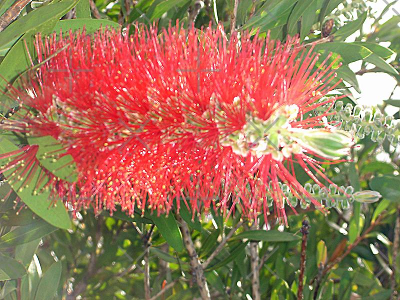 Red, Green & Aussie by KazM