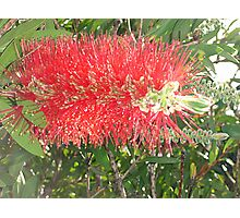 Red, Green & Aussie Photographic Print