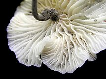 Black-footed Marasmius by Carla Wick/Jandelle Petters