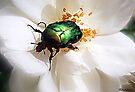 Rose Chafer by naturelover