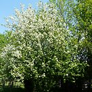 Our Wild Siberian Crab Apple Tree by MaeBelle