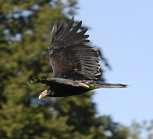 Turkey Vulture by karmicimages
