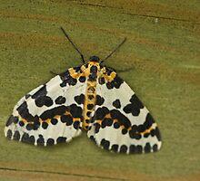 Magpie Moth by Robert Abraham