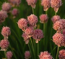 Springtime Chives by Annie Lemay  Photography