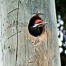 Pileated Woodpecker Offspring by Teresa Zieba