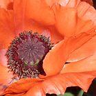 Poppy Series - 4 by karenkirkham