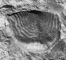 Leptaenid brachiopod fossil from Usk, Monmouthshire by BlackbarnGifts