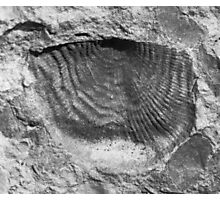Leptaenid brachiopod fossil from Usk, Monmouthshire Photographic Print